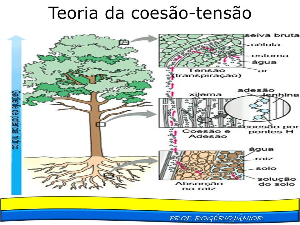 Teoria da coesão-tensão Melhor explica a condução da seiva bruta Capilaridade Capilaridade A perda de água por transpiração atuaria como uma forma de