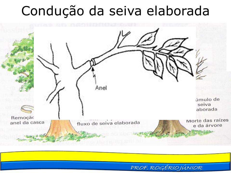 Condução da seiva elaborada Disposição dos vasos nas eudicotiledôneas e nas gimnospermas: Os vasos liberianos são periféricos Os vasos lenhosos são pr