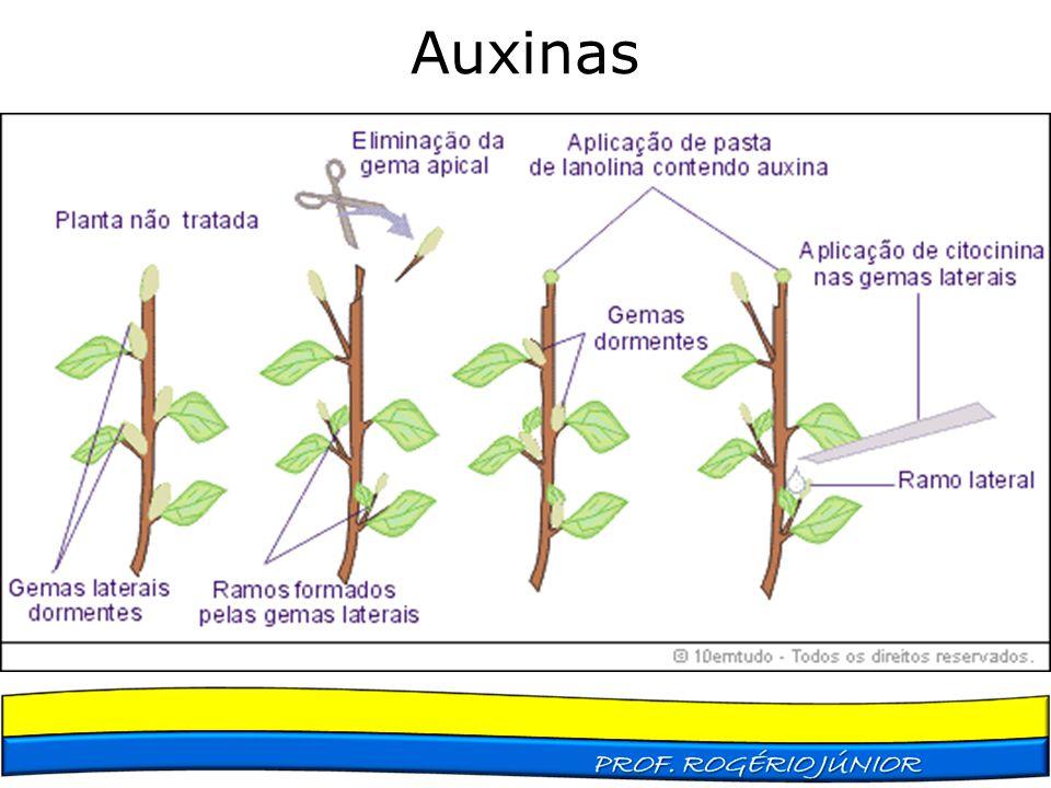Auxinas Dominância apical Produção de raízes adventícias Formação de frutos Abscisão (amputação, separação, poda natural)
