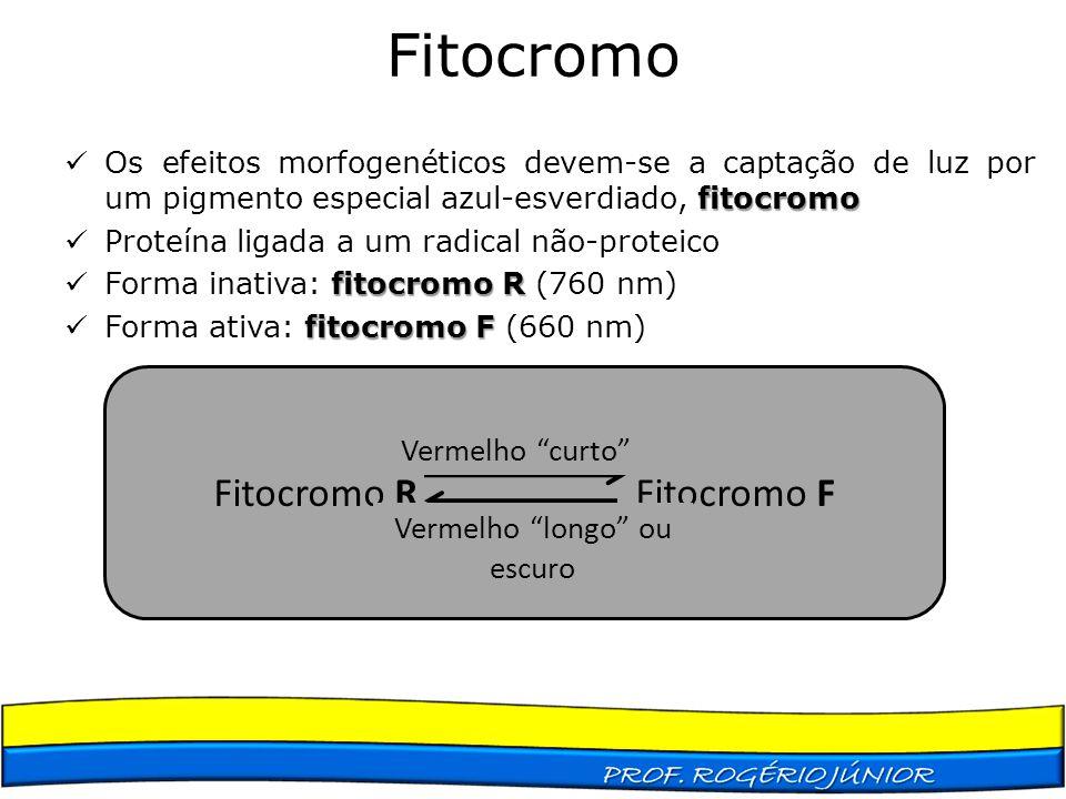 Fitocromo fitocromo Os efeitos morfogenéticos devem-se a captação de luz por um pigmento especial azul-esverdiado, fitocromo Proteína ligada a um radi