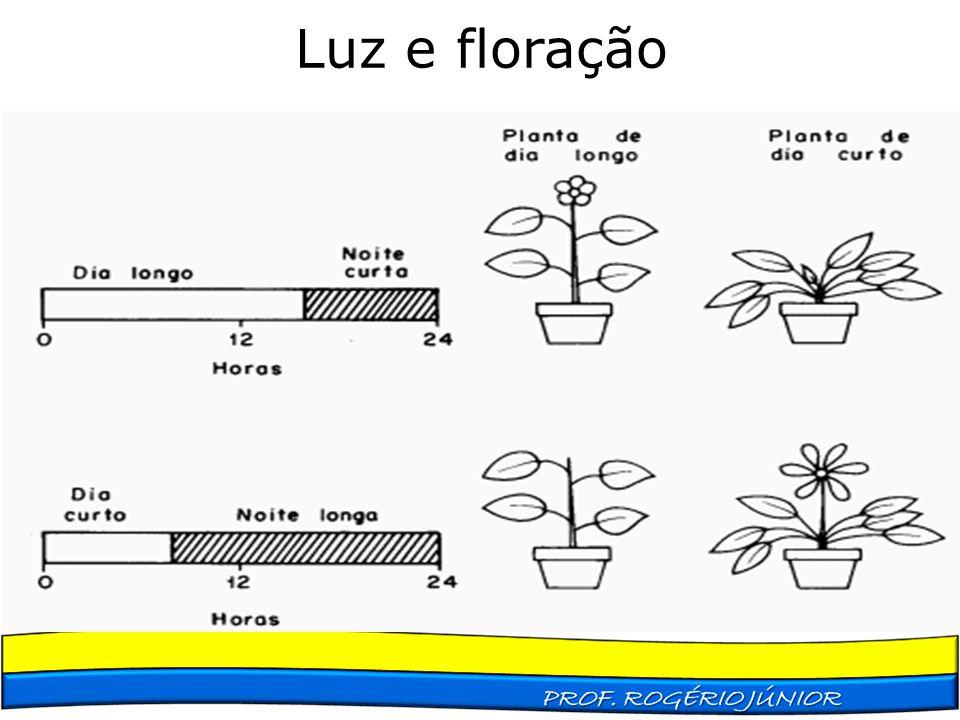 Luz e floração