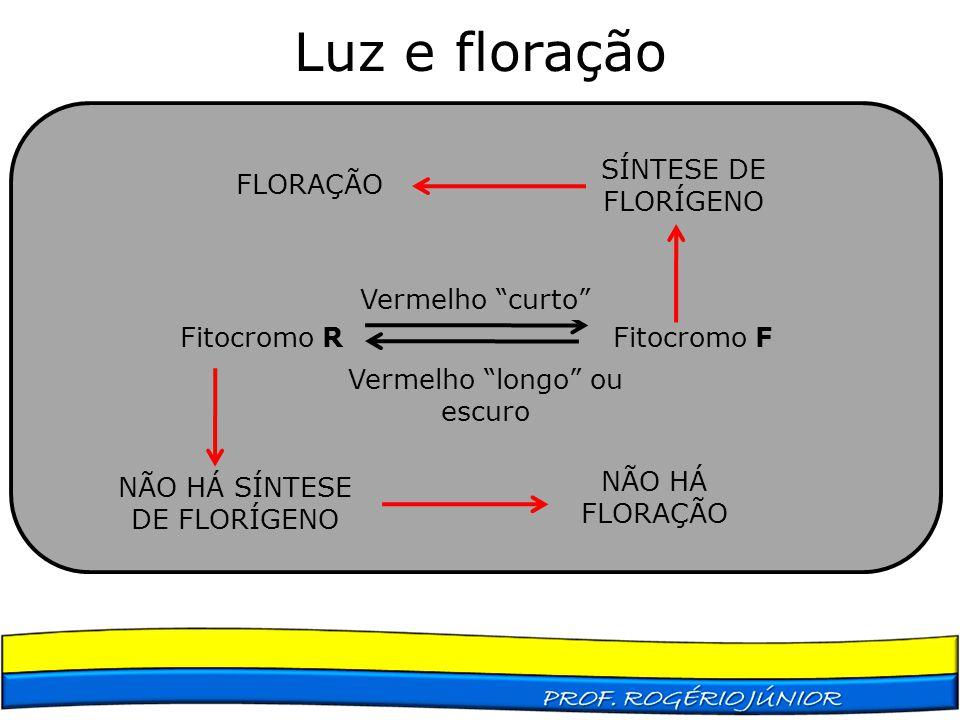 """Fitocromo R Fitocromo F Vermelho """"curto"""" Vermelho """"longo"""" ou escuro NÃO HÁ SÍNTESE DE FLORÍGENO NÃO HÁ FLORAÇÃO SÍNTESE DE FLORÍGENO FLORAÇÃO"""