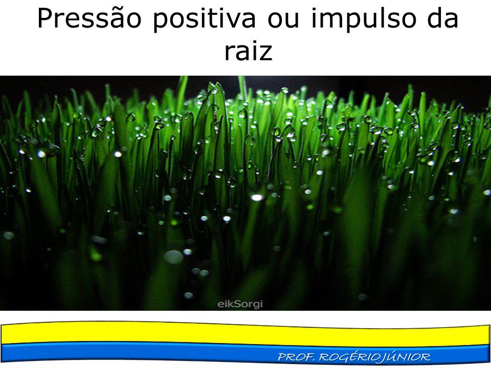 Pressão positiva ou impulso da raiz Relacionada ao transporte ativo de sais para o interior do xilema da raiz. Fenômeno restrito a algumas plantas de