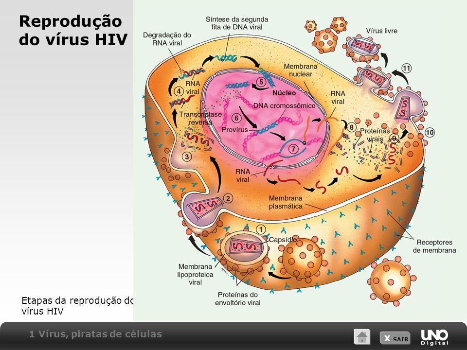X SAIR Reprodução do vírus HIV Etapas da reprodução do vírus HIV 1 Vírus, piratas de células