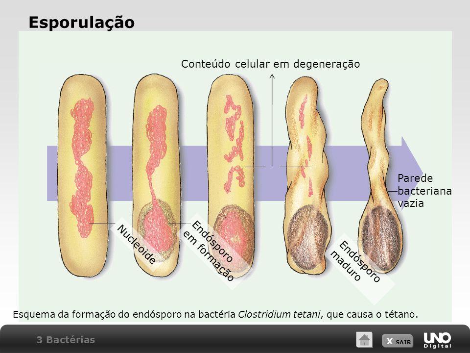 X SAIR Esporulação Esquema da formação do endósporo na bactéria Clostridium tetani, que causa o tétano. Nucleoide Endósporo em formação Conteúdo celul