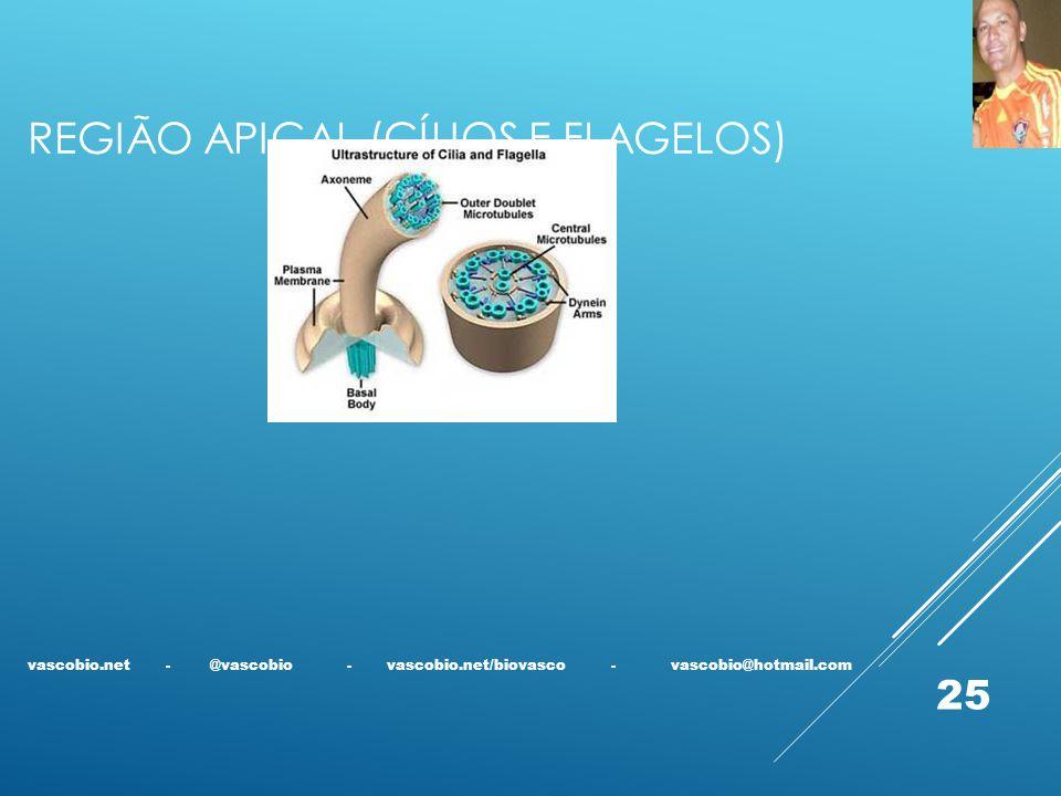 REGIÃO APICAL (CÍLIOS E FLAGELOS) vascobio.net - @vascobio - vascobio.net/biovasco - vascobio@hotmail.com 25