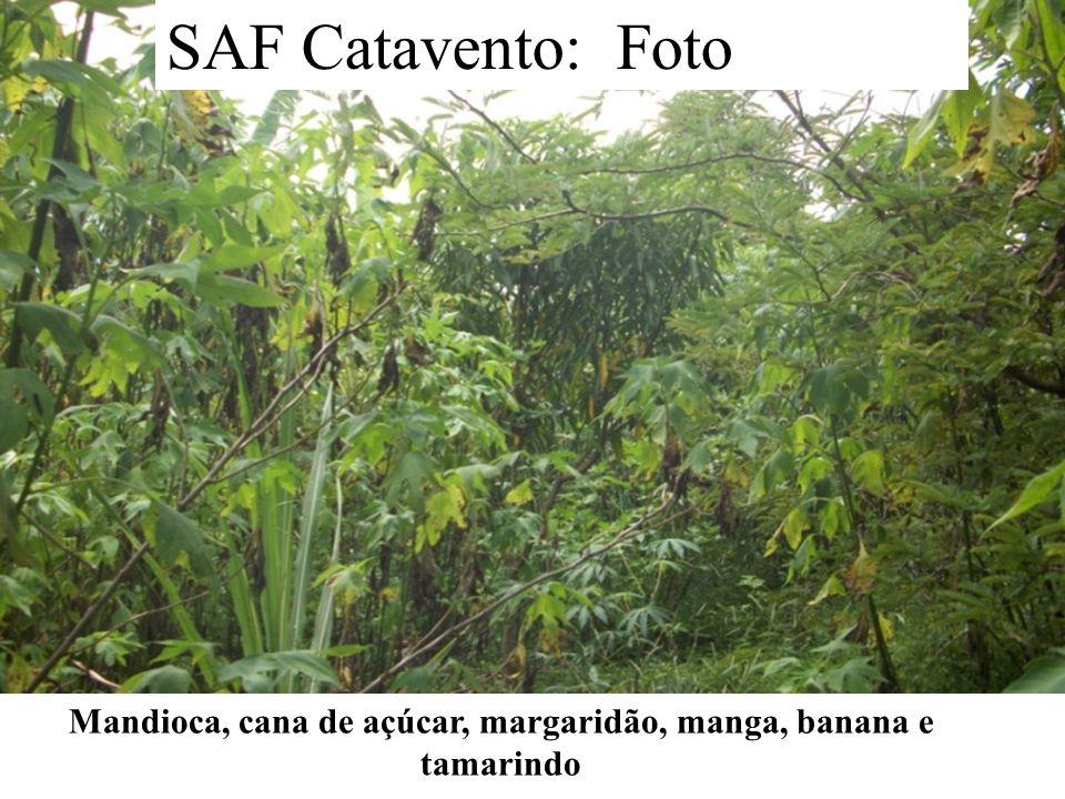 Mandioca, cana de açúcar, margaridão, manga, banana e tamarindo SAF Catavento: Foto