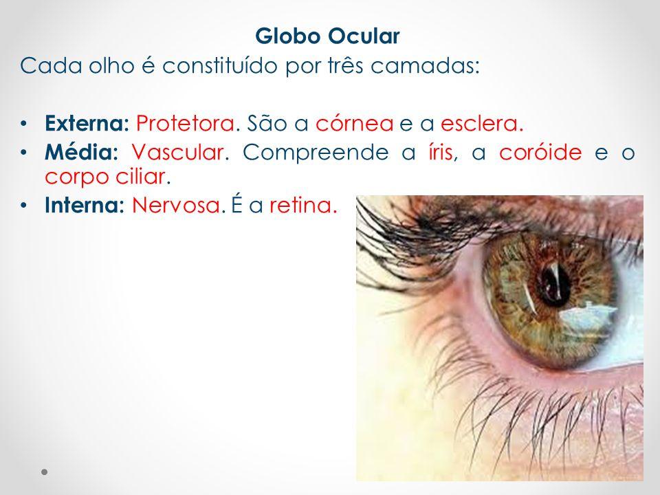 Globo Ocular Cada olho é constituído por três camadas: • Externa: Protetora. São a córnea e a esclera. • Média: Vascular. Compreende a íris, a coróide