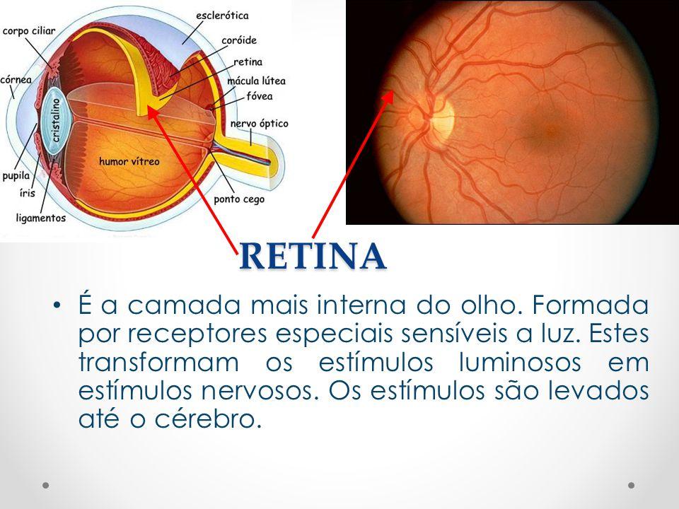 RETINA • É a camada mais interna do olho. Formada por receptores especiais sensíveis a luz. Estes transformam os estímulos luminosos em estímulos nerv