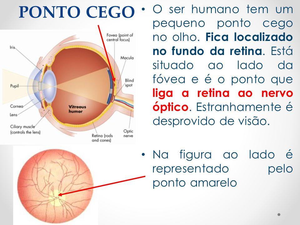PONTO CEGO • O ser humano tem um pequeno ponto cego no olho. Fica localizado no fundo da retina. Está situado ao lado da fóvea e é o ponto que liga a
