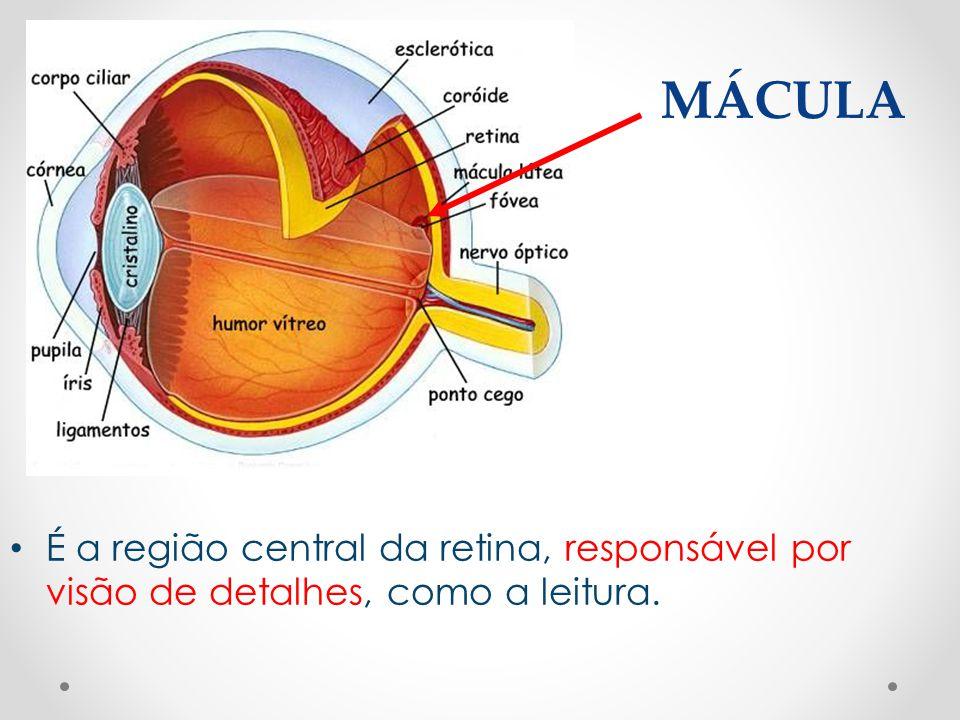 MÁCULA • É a região central da retina, responsável por visão de detalhes, como a leitura.