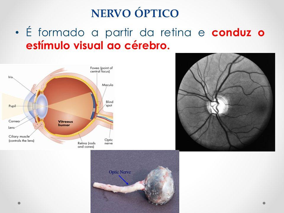 NERVO ÓPTICO • É formado a partir da retina e conduz o estímulo visual ao cérebro.