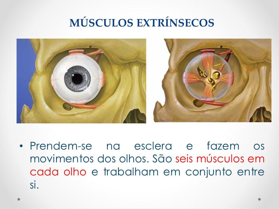 • Prendem-se na esclera e fazem os movimentos dos olhos. São seis músculos em cada olho e trabalham em conjunto entre si. MÚSCULOS EXTRÍNSECOS