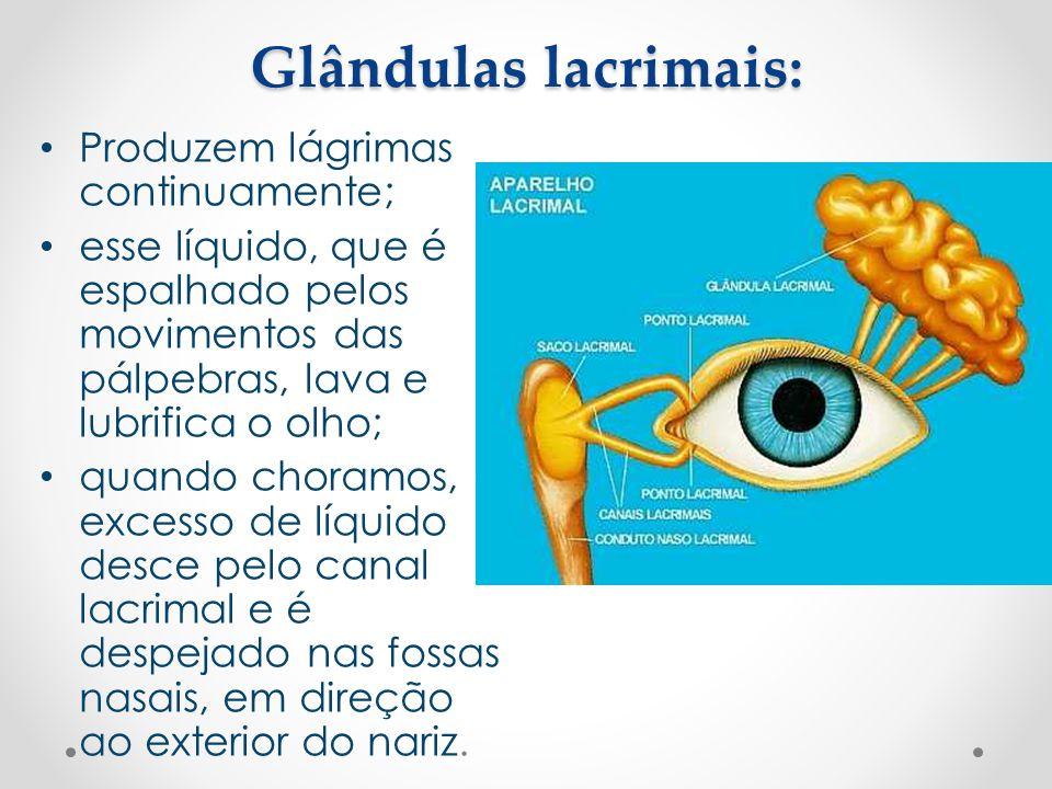 Glândulas lacrimais: • Produzem lágrimas continuamente; • esse líquido, que é espalhado pelos movimentos das pálpebras, lava e lubrifica o olho; • qua