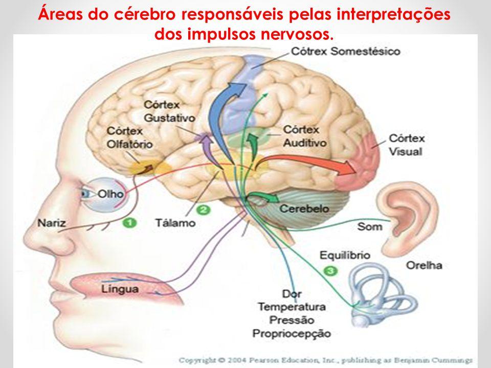 Áreas do cérebro responsáveis pelas interpretações dos impulsos nervosos.