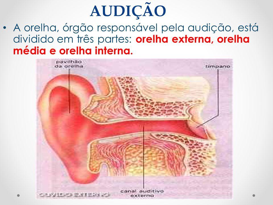 AUDIÇÃO • A orelha, órgão responsável pela audição, está dividido em três partes: orelha externa, orelha média e orelha interna.