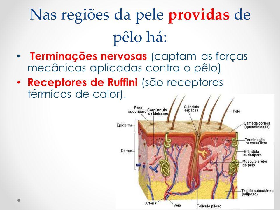 Nas regiões da pele providas de pêlo há: • Terminações nervosas (captam as forças mecânicas aplicadas contra o pêlo) • Receptores de Ruffini (são rece