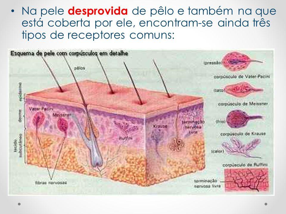 • Na pele desprovida de pêlo e também na que está coberta por ele, encontram-se ainda três tipos de receptores comuns: