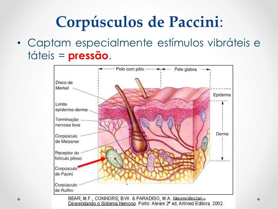 Corpúsculos de Paccini: • Captam especialmente estímulos vibráteis e táteis = pressão.