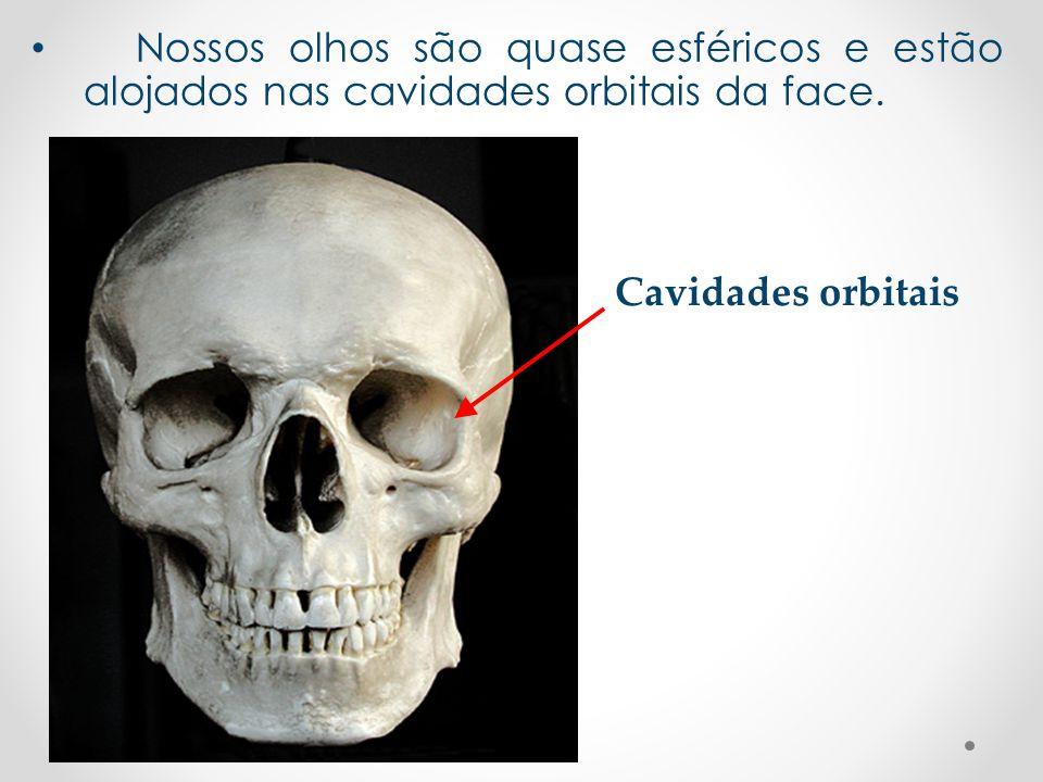 • Nossos olhos são quase esféricos e estão alojados nas cavidades orbitais da face. Cavidades orbitais