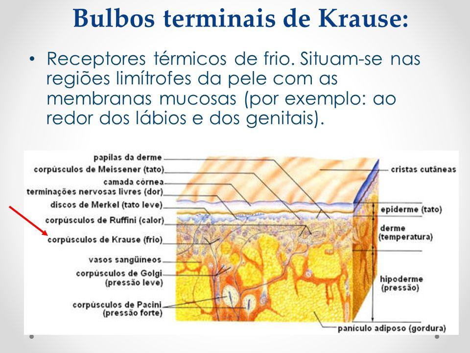 Bulbos terminais de Krause: • Receptores térmicos de frio. Situam-se nas regiões limítrofes da pele com as membranas mucosas (por exemplo: ao redor do