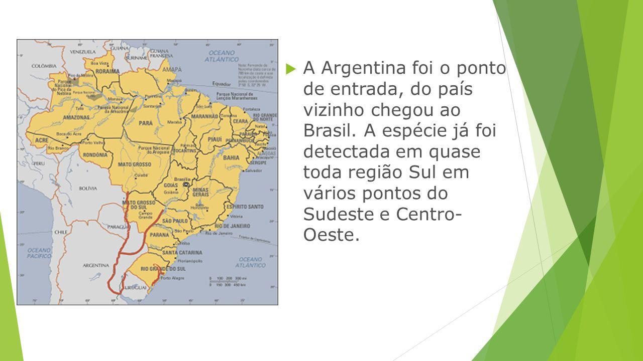  A Argentina foi o ponto de entrada, do país vizinho chegou ao Brasil. A espécie já foi detectada em quase toda região Sul em vários pontos do Sudest
