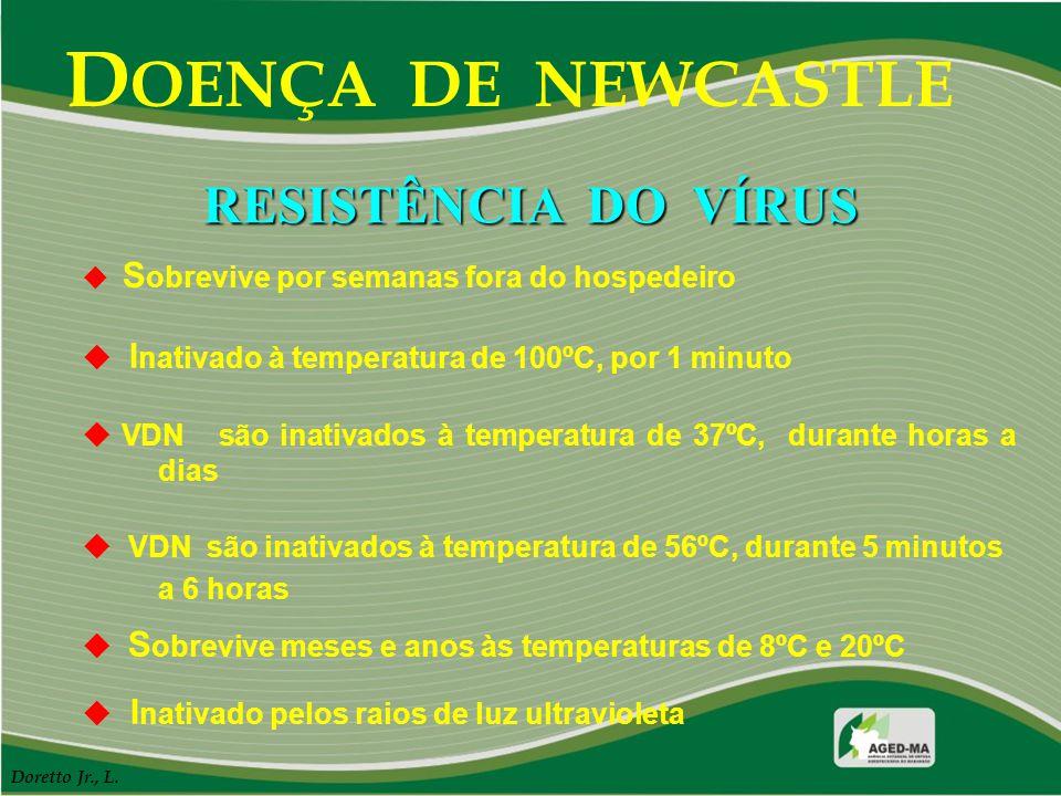 D OENÇA DE NEWCASTLE  S obrevive por semanas fora do hospedeiro  I nativado à temperatura de 100ºC, por 1 minuto  VDN são inativados à temperatura