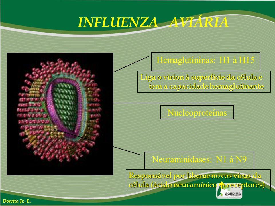 INFLUENZA AVIÁRIA Nucleoproteínas Hemaglutininas: H1 à H15 Neuraminidases: N1 à N9 Doretto Jr., L. Liga o virion à superfície da célula e tem a capaci