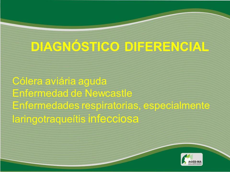 DIAGNÓSTICO DIFERENCIAL Cólera aviária aguda Enfermedad de Newcastle Enfermedades respiratorias, especialmente laringotraqueítis infecciosa