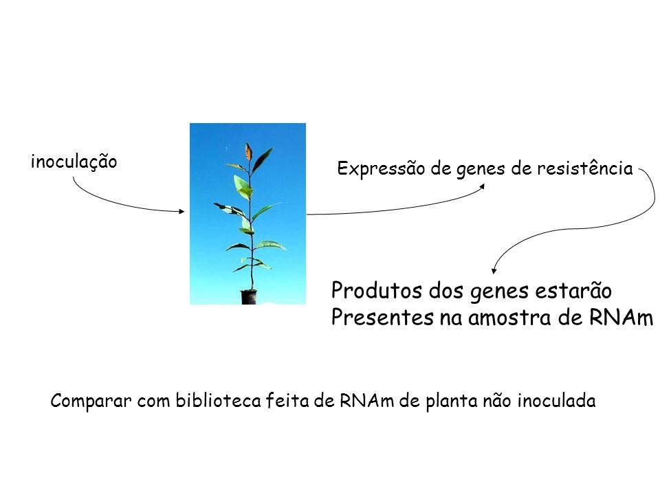 inoculação Expressão de genes de resistência Produtos dos genes estarão Presentes na amostra de RNAm Comparar com biblioteca feita de RNAm de planta n