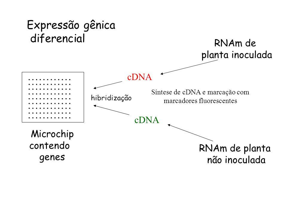 ………… Microchip contendo genes RNAm de planta inoculada RNAm de planta não inoculada Expressão gênica diferencial Síntese de cDNA e marcação com marcad