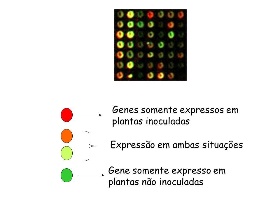 Genes somente expressos em plantas inoculadas Gene somente expresso em plantas não inoculadas Expressão em ambas situações