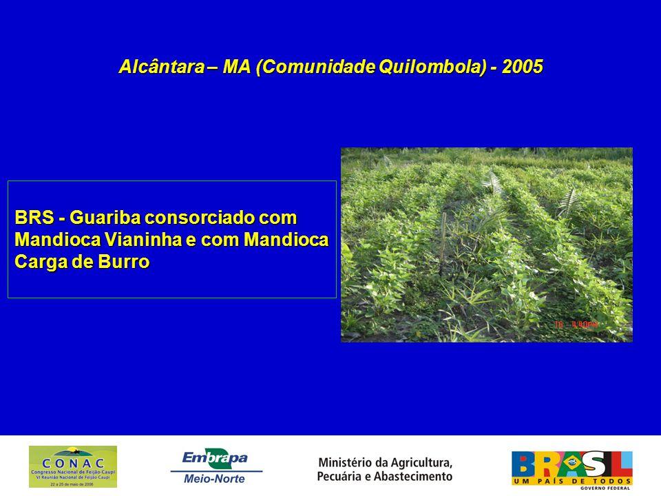 Alcântara – MA (Comunidade Quilombola) - 2005 BRS - Guariba consorciado com Mandioca Vianinha e com Mandioca Carga de Burro