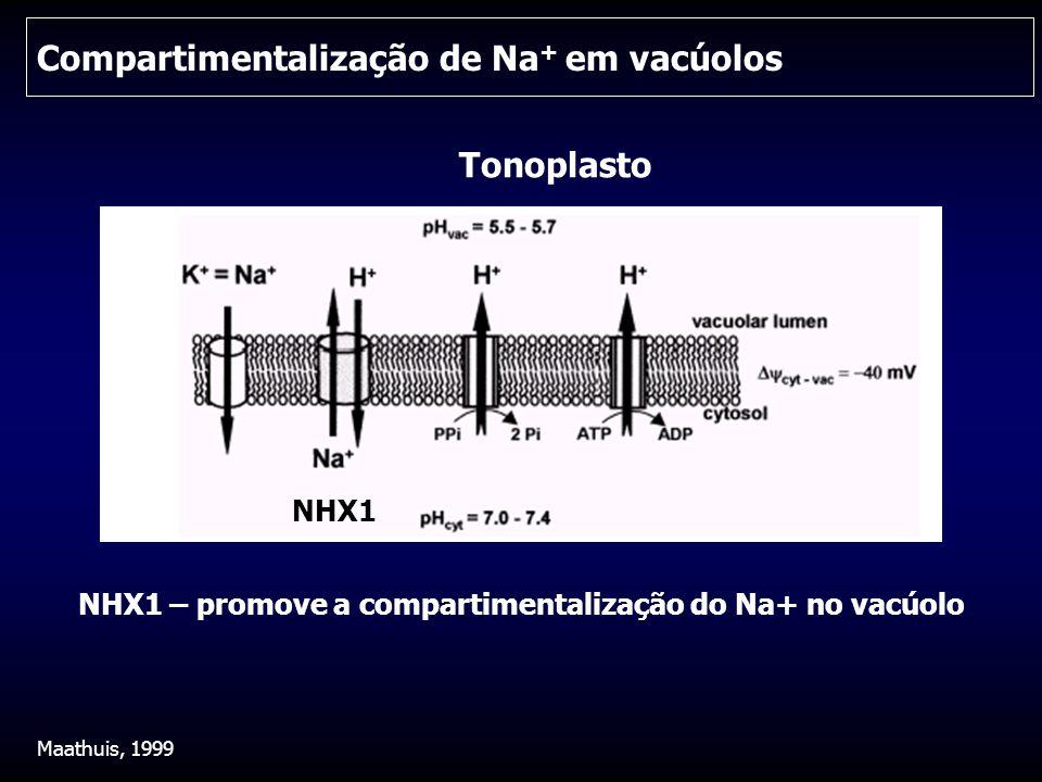 Compartimentalização de Na + em vacúolos Maathuis, 1999 Tonoplasto NHX1 NHX1 – promove a compartimentalização do Na+ no vacúolo