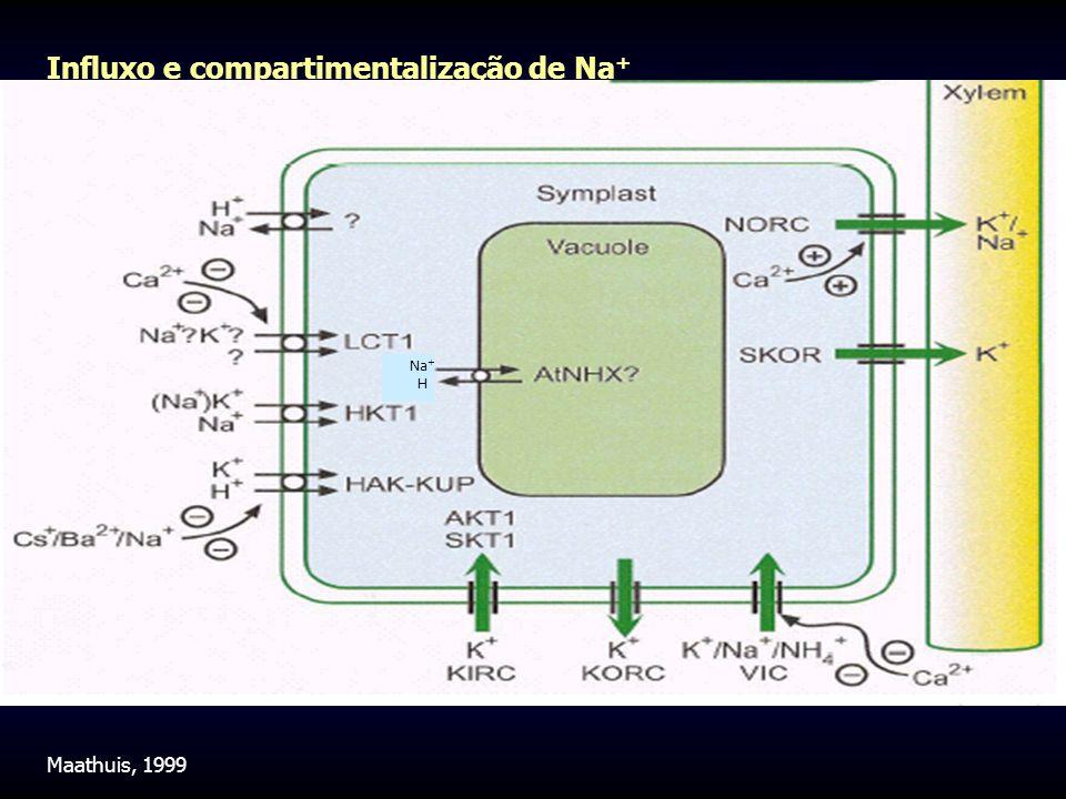 Influxo e compartimentalização de Na + Na + H + Maathuis, 1999