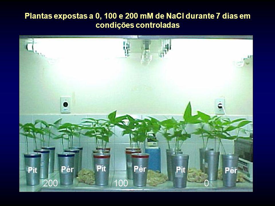 Plantas expostas a 0, 100 e 200 mM de NaCl durante 7 dias em condições controladas