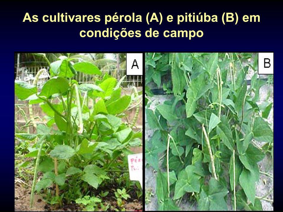 As cultivares pérola (A) e pitiúba (B) em condições de campo