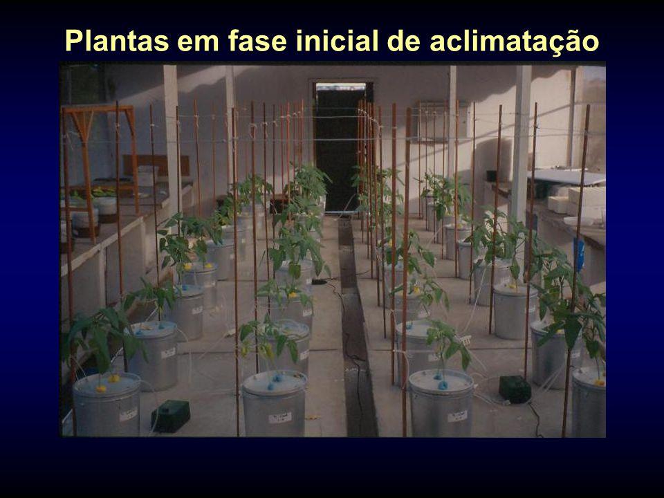 Plantas em fase inicial de aclimatação