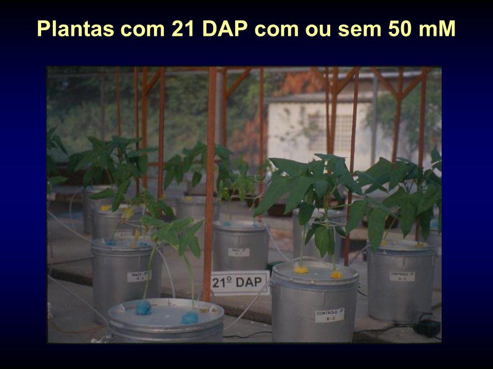 Plantas com 21 DAP com ou sem 50 mM