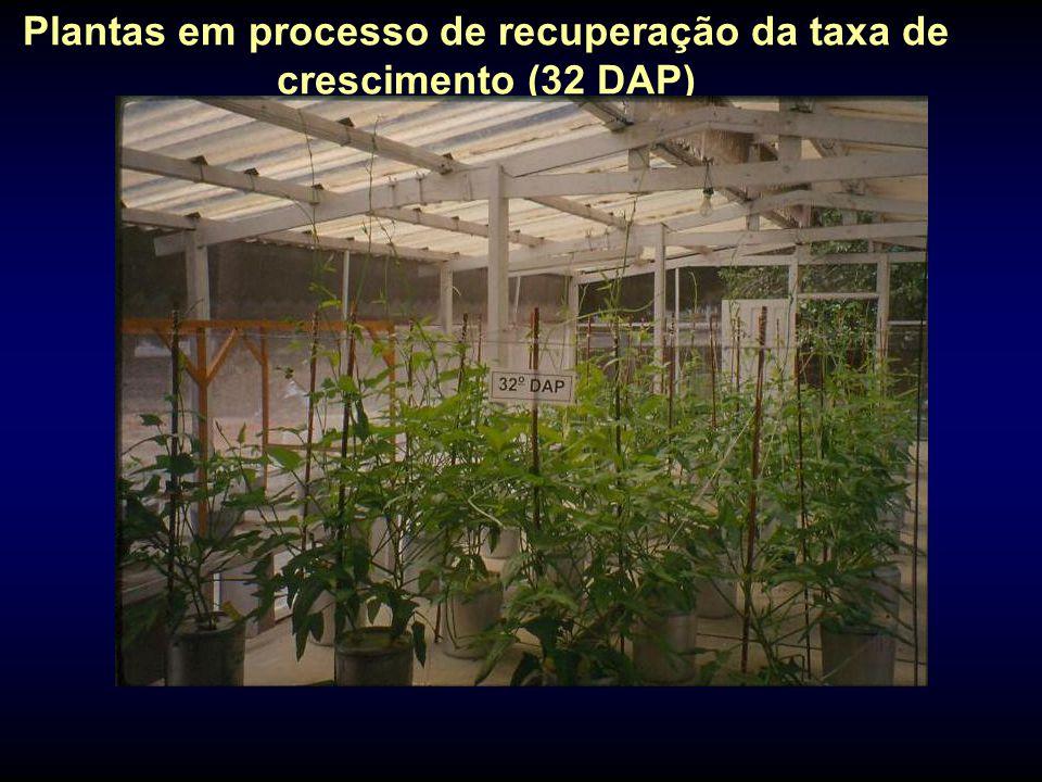 Plantas em processo de recuperação da taxa de crescimento (32 DAP)