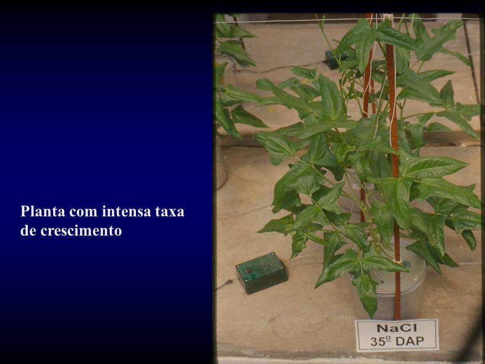 Planta com intensa taxa de crescimento