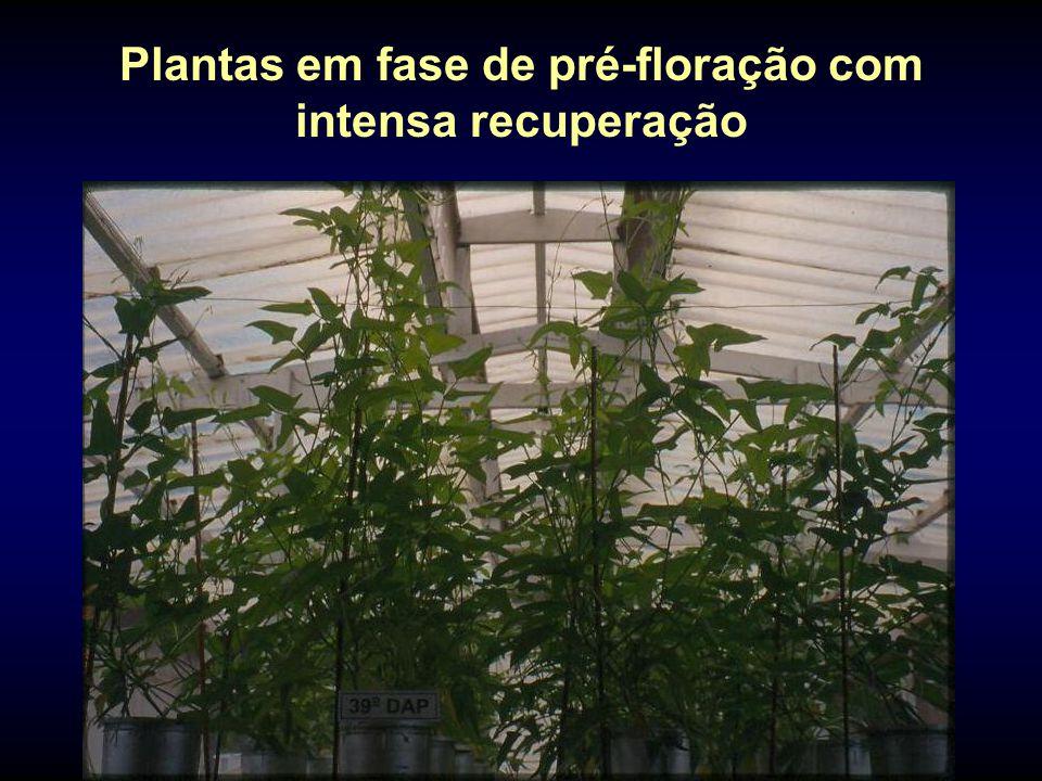 Plantas em fase de pré-floração com intensa recuperação