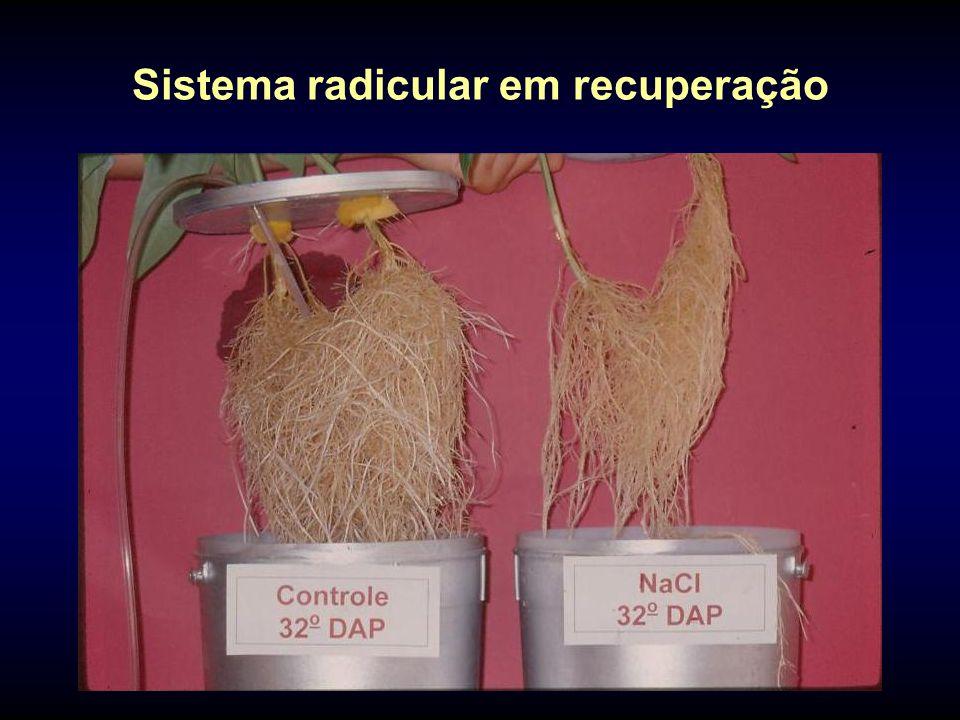 Sistema radicular em recuperação
