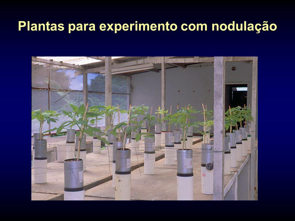 Plantas para experimento com nodulação