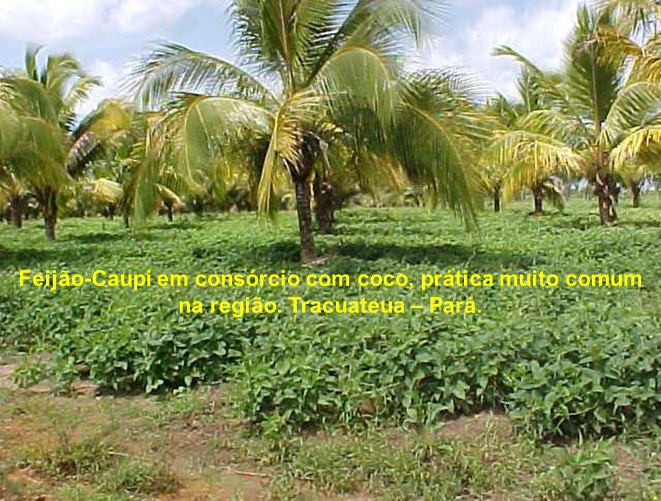 Feijão-Caupi em consórcio com coco, prática muito comum na região. Tracuateua – Pará.
