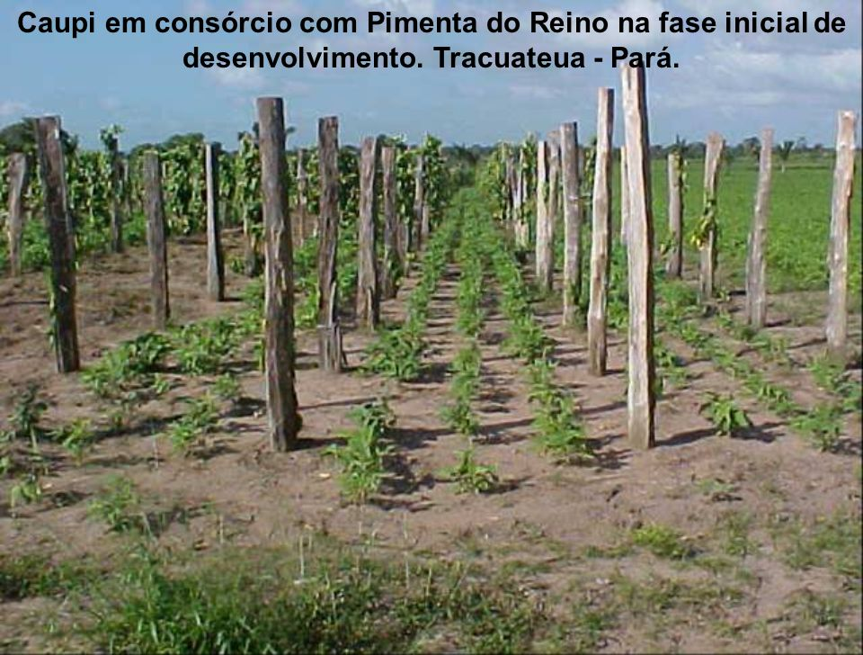 Caupi em consórcio com Pimenta do Reino na fase inicial de desenvolvimento. Tracuateua - Pará.