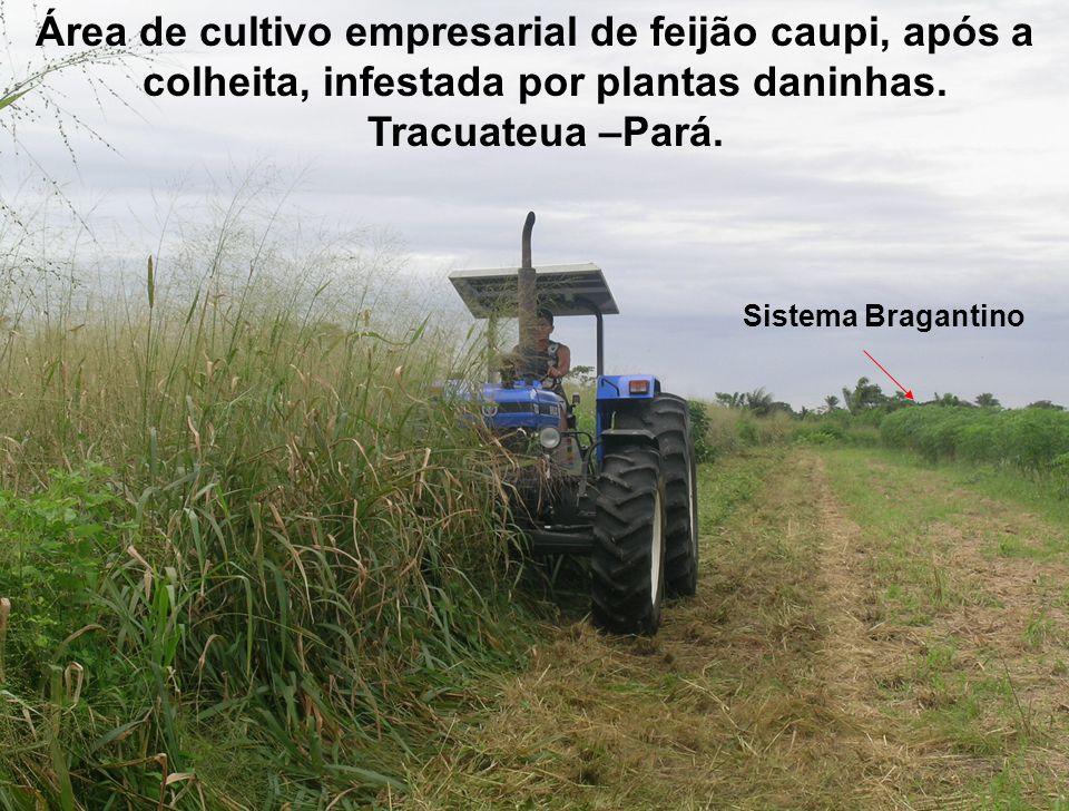 Área de cultivo empresarial de feijão caupi, após a colheita, infestada por plantas daninhas. Tracuateua –Pará. Sistema Bragantino