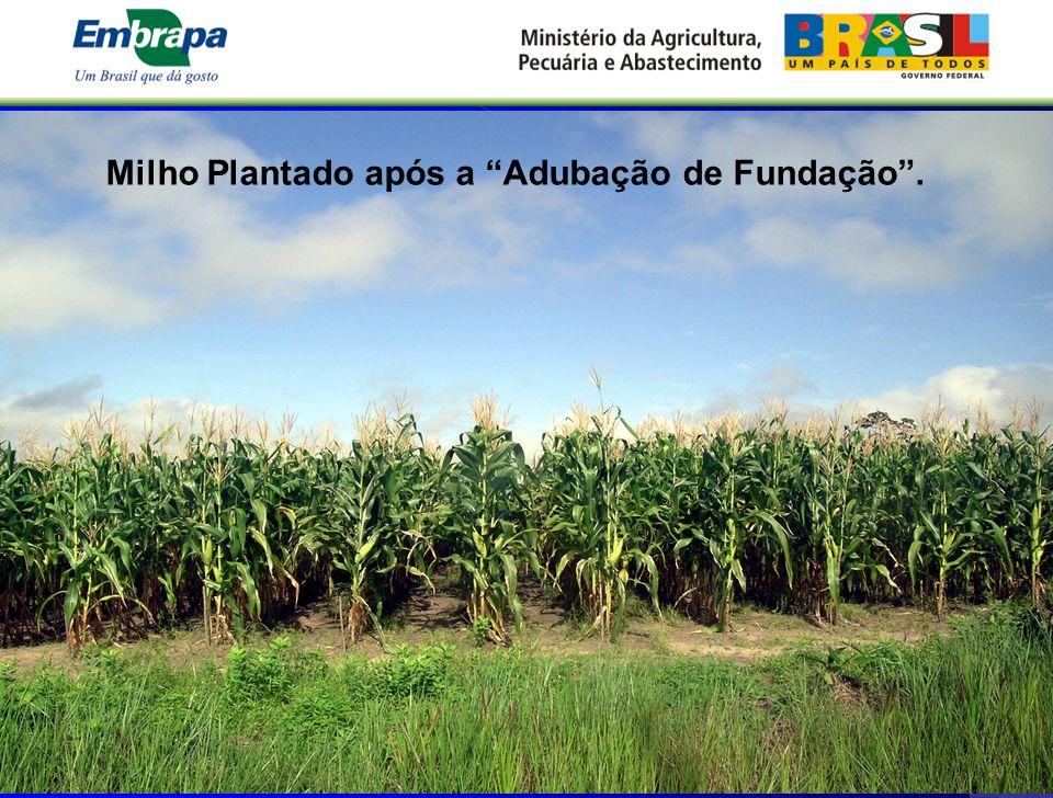 """Milho Plantado após a """"Adubação de Fundação""""."""