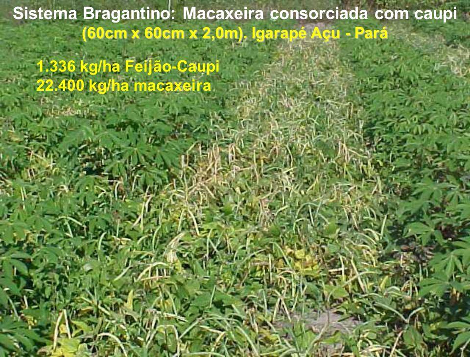 (60cm x 60cm x 2,0m). Igarapé Açu - Pará Sistema Bragantino: Macaxeira consorciada com caupi (60cm x 60cm x 2,0m). Igarapé Açu - Pará 1.336 kg/ha Feij