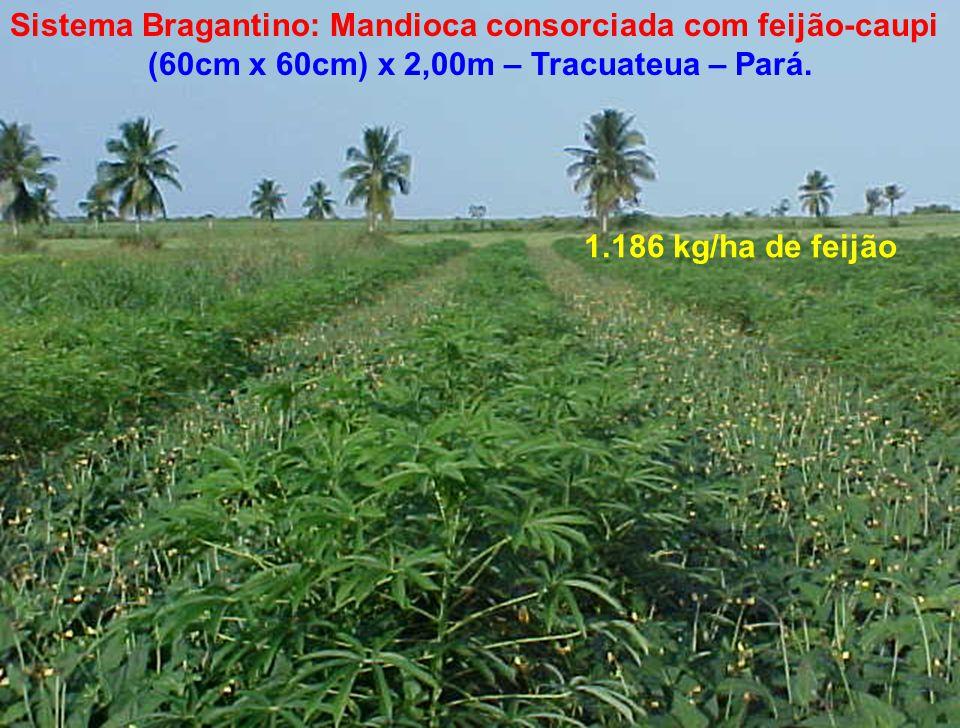 Sistema Bragantino: Mandioca consorciada com feijão-caupi (60cm x 60cm) x 2,00m – Tracuateua – Pará. 1.186 kg/ha de feijão